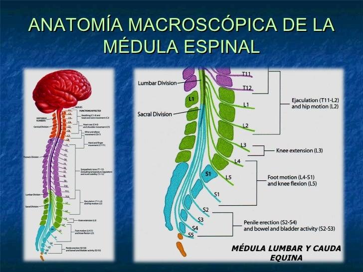que es el tronco cerebral free mirrors 21107421