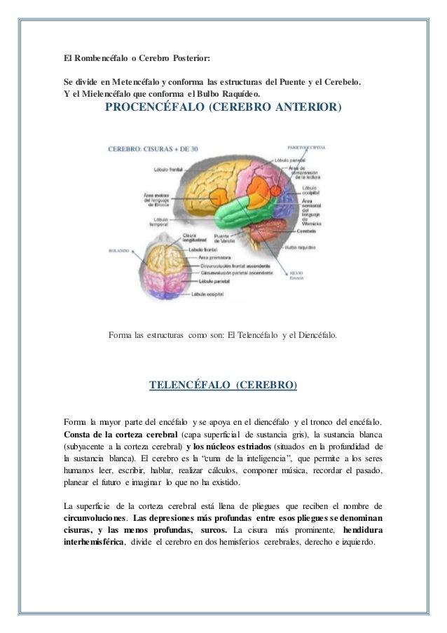 Anatomía del encéfalo