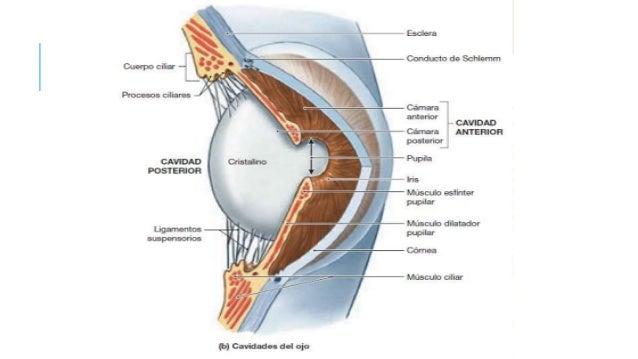 Anatomía del globo ocular