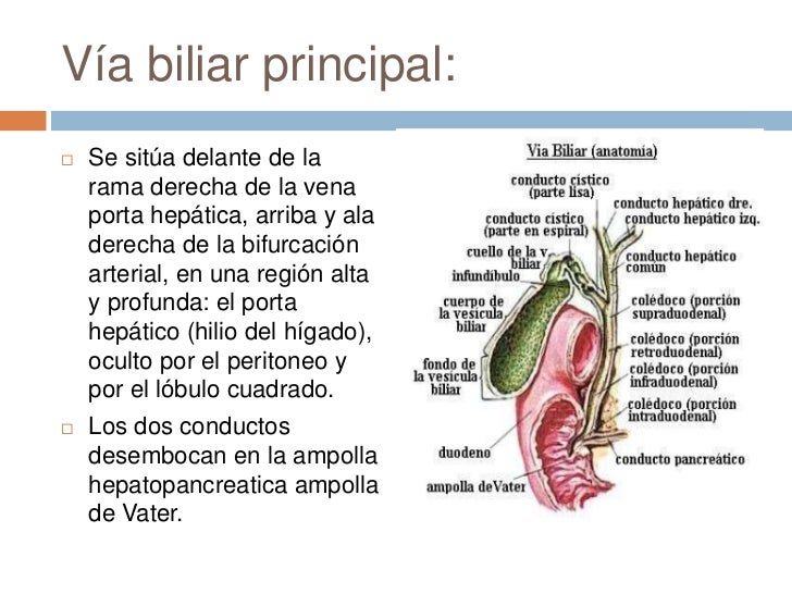 Increíble Conducto Hepático Común Molde - Anatomía de Las ...