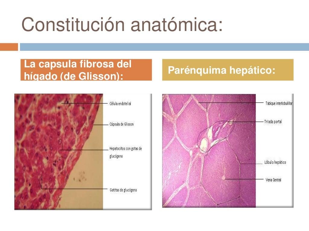 Anatomía del higado
