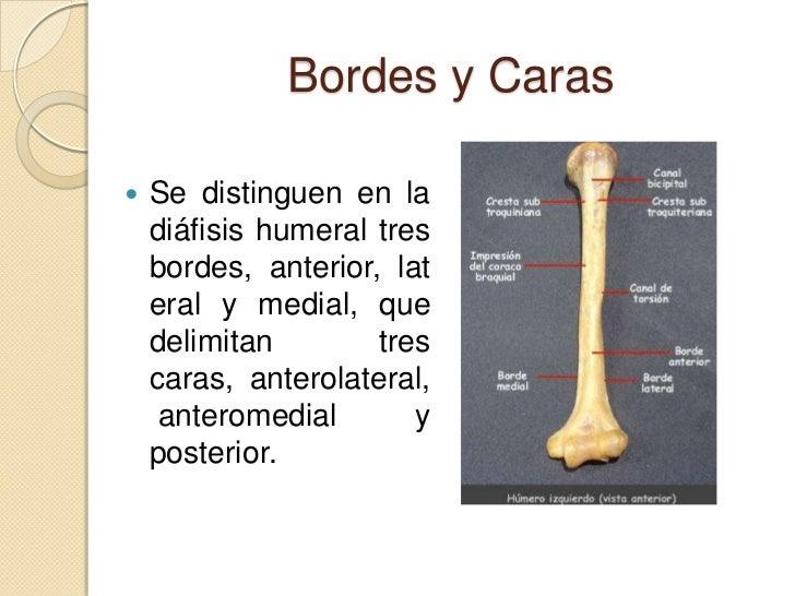 Vistoso Ubicación Húmero Colección de Imágenes - Anatomía de Las ...