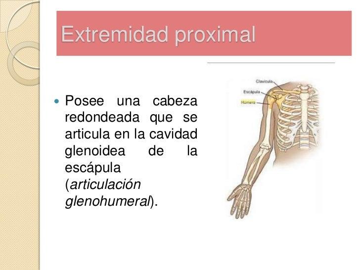 Anatomía del húmero