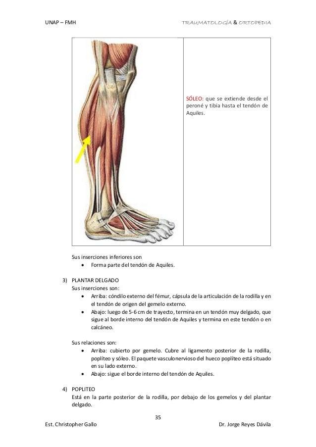 Anatomía de los miembros inferiores (huesos, musculos, vasos y nervio…