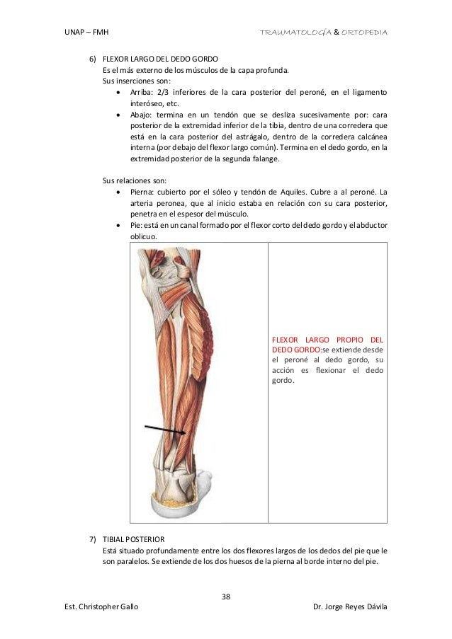 Vistoso Inferior Anatomía Hueso De La Pierna Ilustración - Anatomía ...