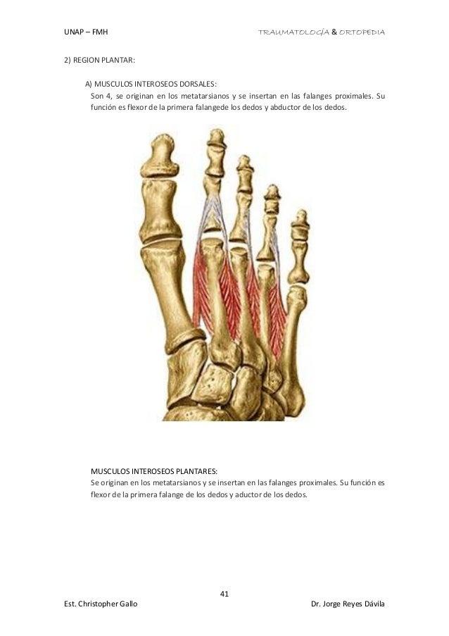 Vistoso Diagrama De Los Músculos Del Pie Componente - Anatomía de ...