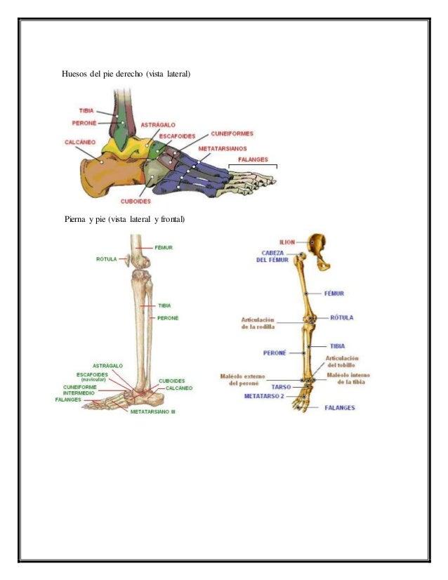 Lujo Huesos Del Tobillo Y El Pie Regalo - Anatomía de Las ...