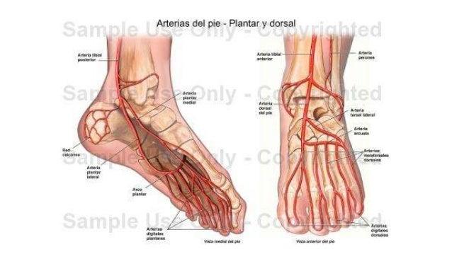 Anatomía del pie (1)