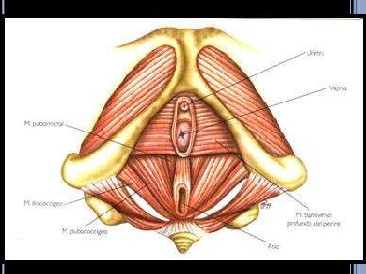 Anatomía del piso pélvico