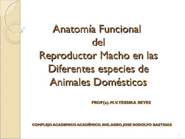 Anatomía del reproductor macho en las diferentes especies