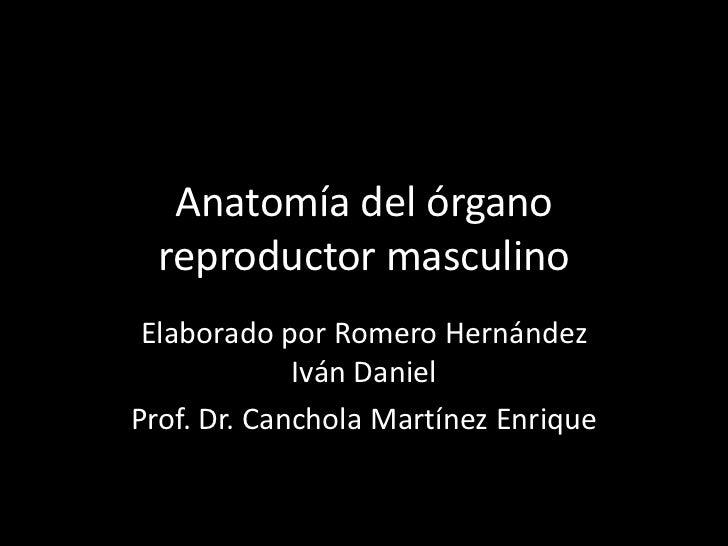 Anatomía del órgano reproductor masculino <br />Elaborado por Romero Hernández Iván Daniel<br />Prof. Dr. Canchola Martíne...