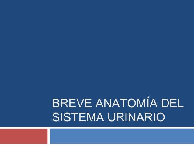 BREVE ANATOMÍA DELSISTEMA URINARIO