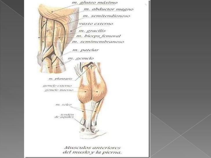Excelente Músculo De La Pantorrilla Colección - Anatomía de Las ...