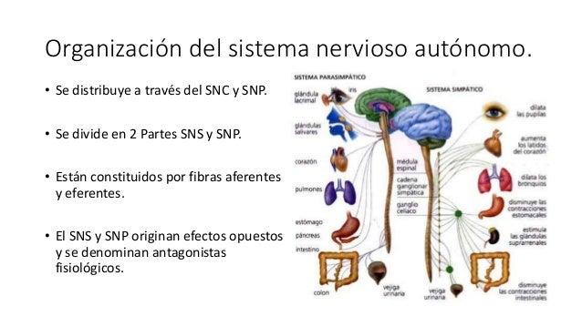 Anatomía del sistema nervioso autonomo simpático