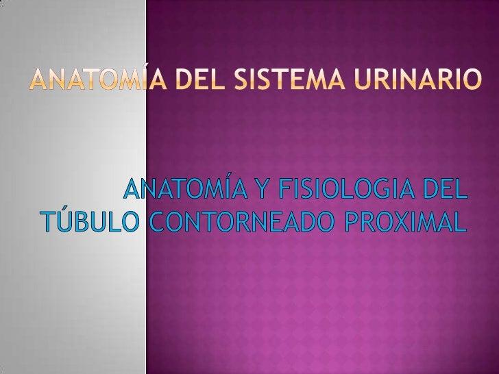 Anatomía del sistema urinario<br />ANATOMÍA Y FISIOLOGIA DEL TÚBULO CONTORNEADO PROXIMAL<br />