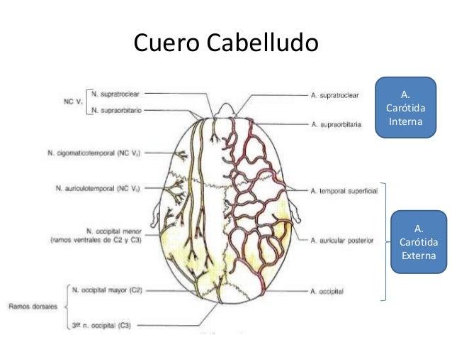 Anatomía del snc