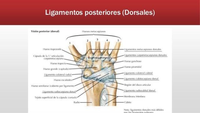 Anatomía de mano y muñeca