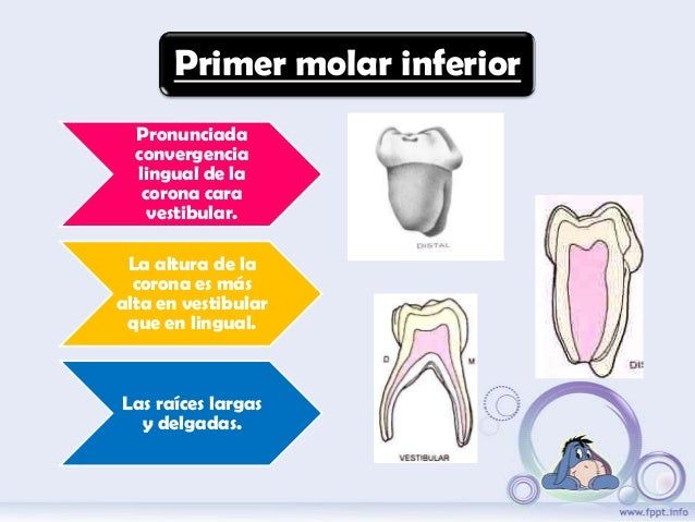Anatomía dental en dientes temporales