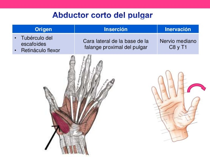 Anatomía de pulgar