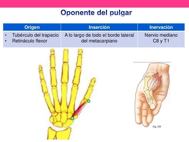 Increíble Anatomía De Articulación Del Pulgar Cresta - Anatomía de ...