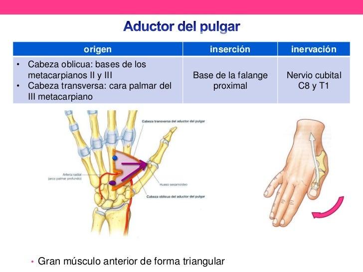 Asombroso Pulgar Ligamento Anatomía Festooning - Anatomía de Las ...