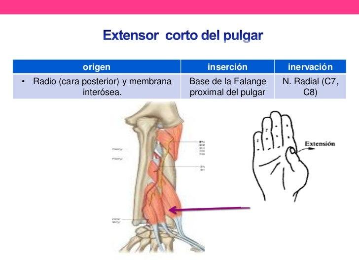 Vistoso Los Movimientos Del Pulgar Anatomía Foto - Anatomía de Las ...