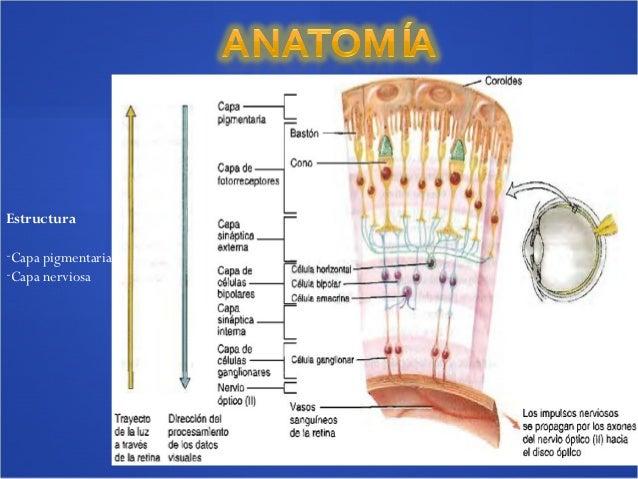 Anatomía de retina