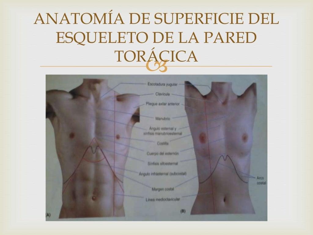 Perfecto Anatomía De Superficie De Tórax Embellecimiento - Anatomía ...