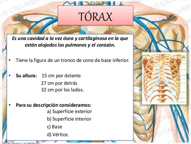 Anatomía de tórax (ANATOMÍA DE TÓRAX)
