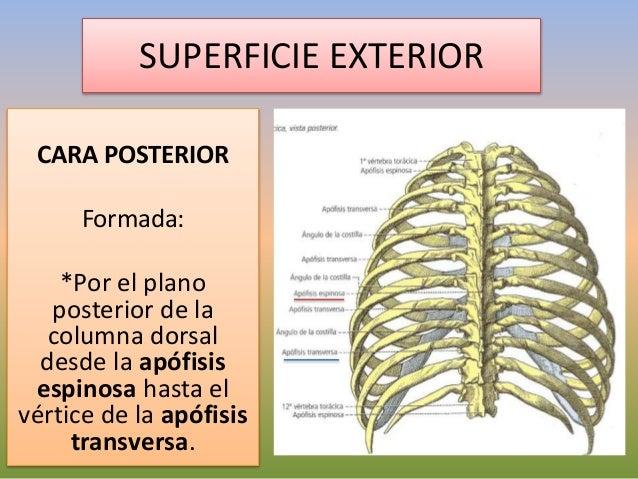 Anatom a de t rax anatom a de t rax for Significado exterior
