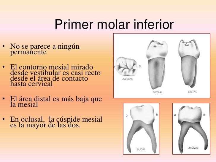 Único Primero Anatomía Molar Mandibular Primaria Viñeta - Anatomía ...