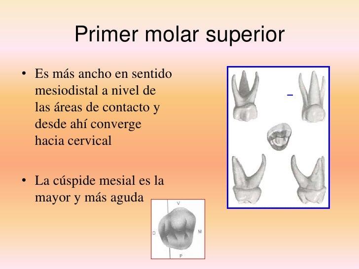 Dorable Primero Anatomía Molar Maxilar Elaboración - Anatomía de Las ...