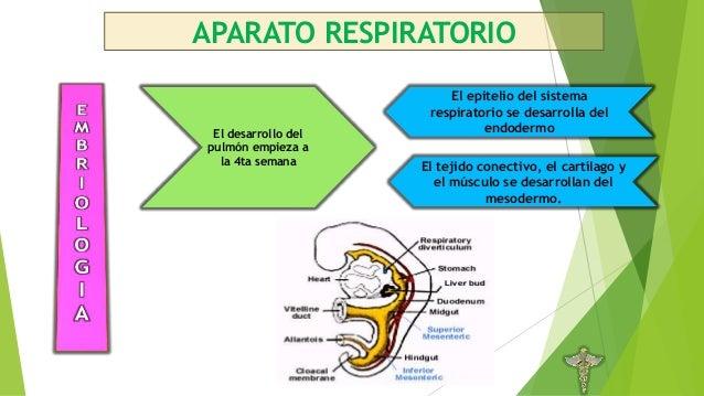 Anatomía, embriología e histología del aparato respiratorio