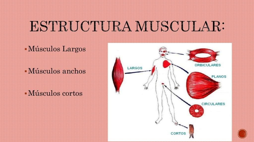 Anatomìa musculos del cuerpo humano