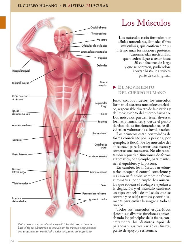 Asombroso Hembra Diagrama De Músculos Del Cuerpo Ilustración ...