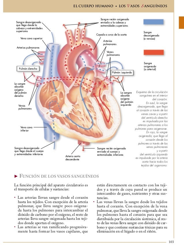 Moderno Anatomía De Los Vasos Sanguíneos Venas Diagrama Colección ...