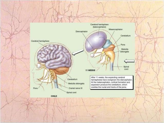 Anatomía externa del cerebro.