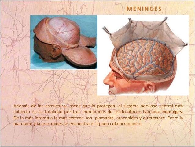 Anatomía Externa Del Cerebro