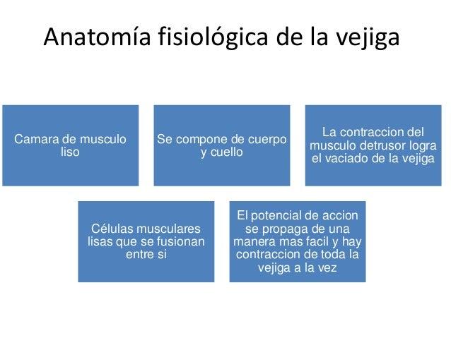 Anatomía fisiológica de la vejiga
