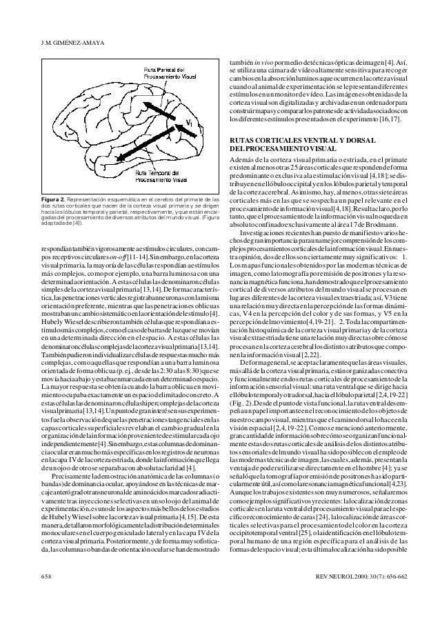 Anatomía funcional de la corteza cerebral implicada en los procesos v…