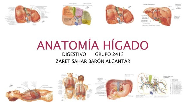 ANATOMÍA HÍGADO DIGESTIVO GRUPO 2413 ZARET SAHAR BARÓN ALCANTAR