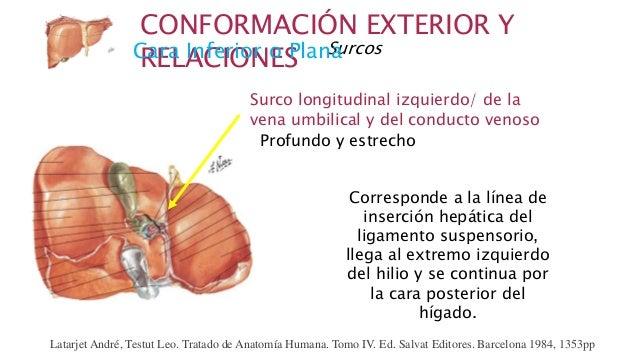 Anatomía de Hígado