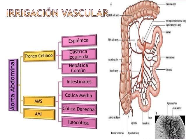 Anatomía Del Intestino Delgado | BLSE