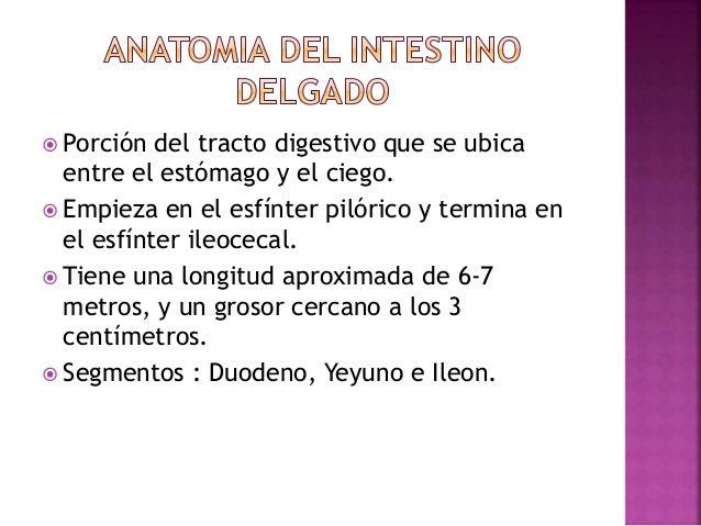 Anatomía, histología y fisiología del intestino delgado