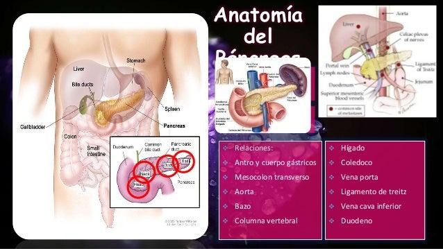 Anatomía, histologia y fisiología de pancreas