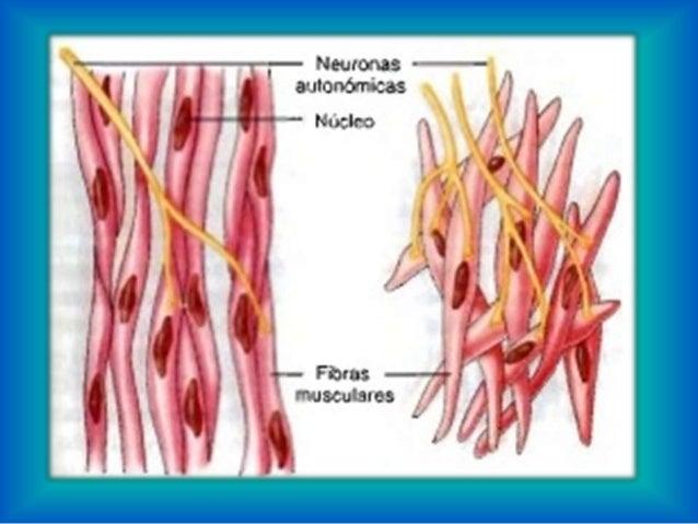 Anatomía humana musculos