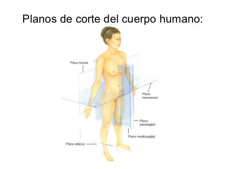 Dorable Plano Frontal Definición Anatomía Composición - Anatomía de ...