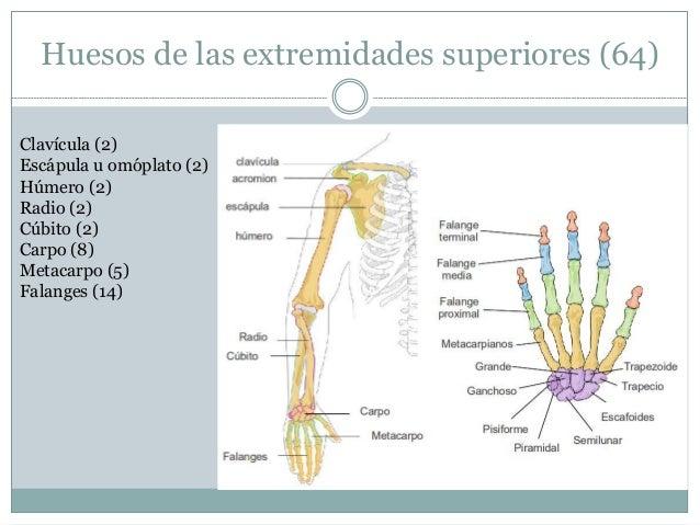 Anatomía humana, huesos del cuerpo humano.
