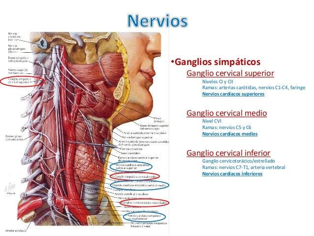 ANATOMÍA HUMANA - Región presomática y triángulos del cuello. Sistema…
