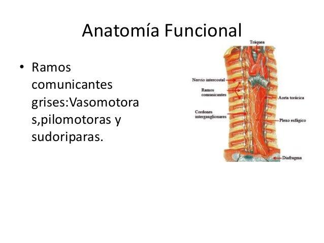 Anatomía de simpático toraxico